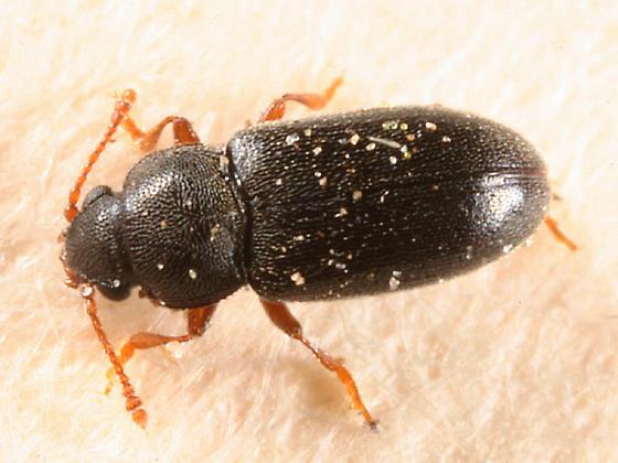 small beetle - Telmatophilus americanus