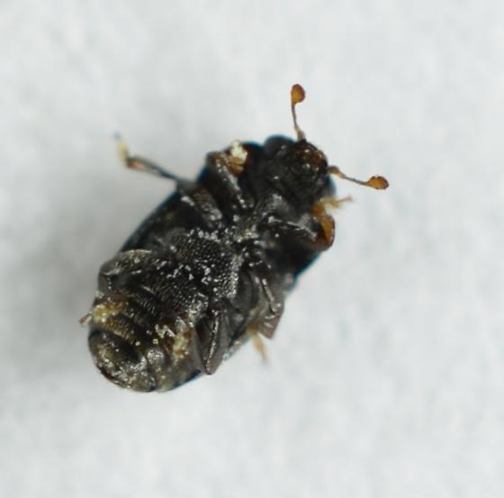 Perhaps Kateretidae? - Genistogethes carinulatus