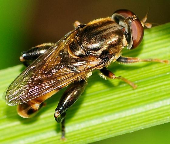 Syrphid Flies Tropidia quadrata - Tropidia quadrata - male
