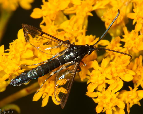 Clearwing - Synanthedon pictipes