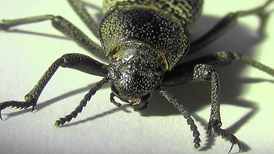 Death-feigning Beetle - Cryptoglossa variolosa