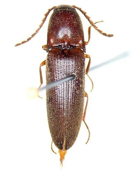 clicker - Megapenthes insignis