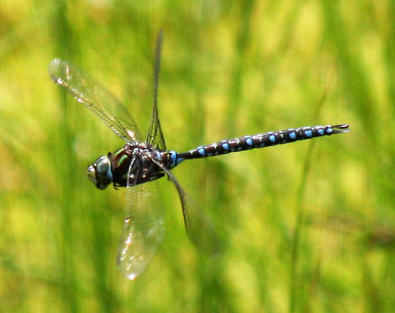 Dragonfly on tundra, Québec - Aeshna juncea - male