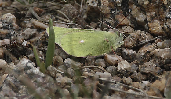 Mead's Sulphur, Colias meadii check id please - Colias meadii
