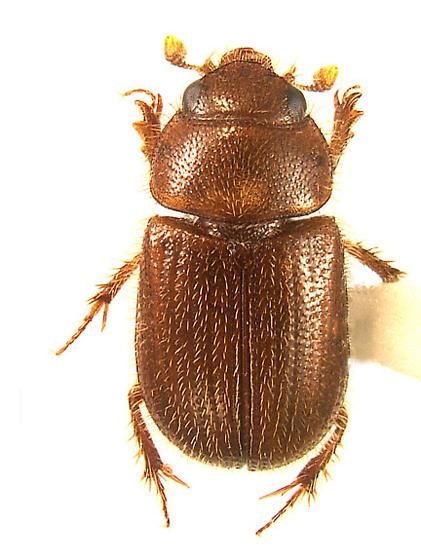 Pixie sand-loving scarab - Parochodaeus pixius