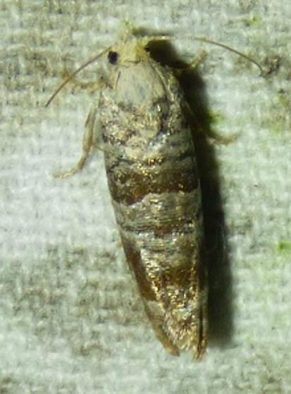 unknown moth - Retinia