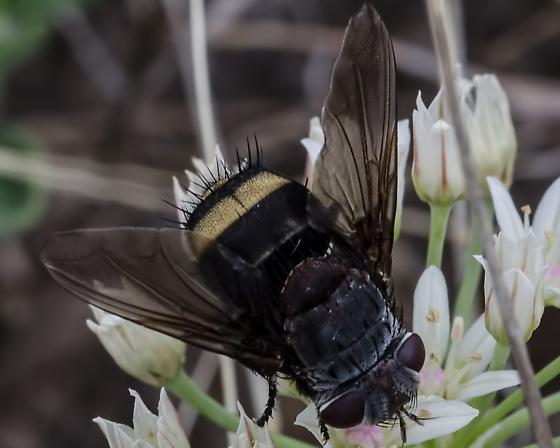 Unkown 'Bee' 4668 - Belvosia