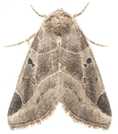 Black-barred Brown Moth - Plagiomimicus pityochromus