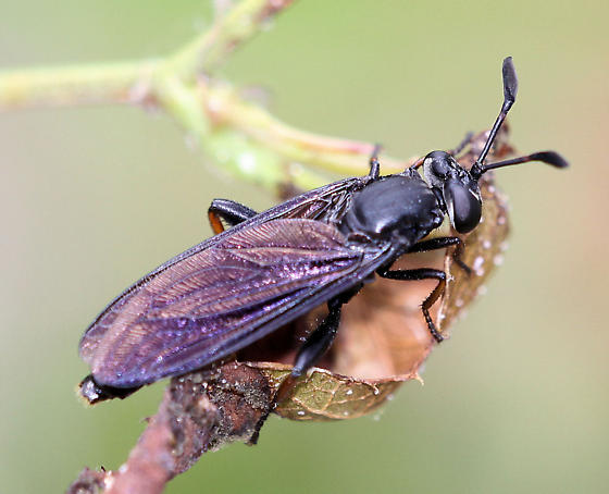 Mydas Fly - ? - Phyllomydas quercus