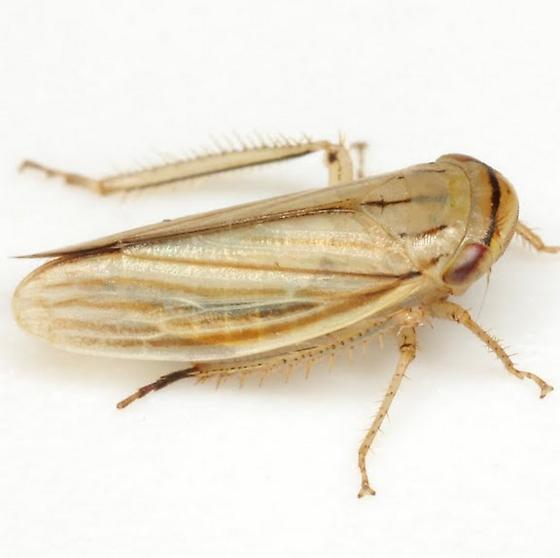 Athysanus argentarius Metcalf - Athysanus argentarius