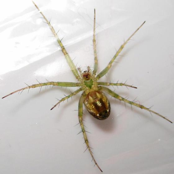Mangora - Mangora maculata - female