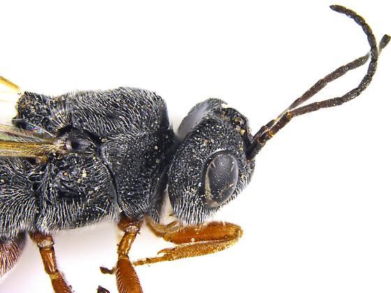 Female, Braconidae - Urosigalphus - female