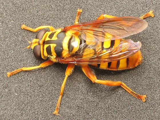 Yellowjacket Hover Fly? - Milesia virginiensis - female