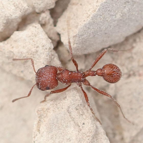 Brown with a square head - Pogonomyrmex
