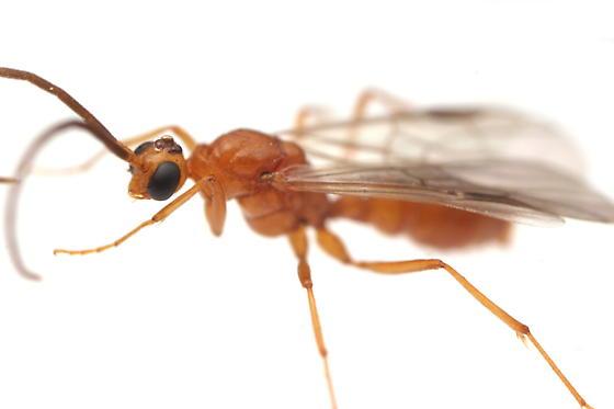 Leptogenys elongata - male