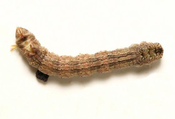 Geometridae, larva, ventral - Anavitrinella pampinaria