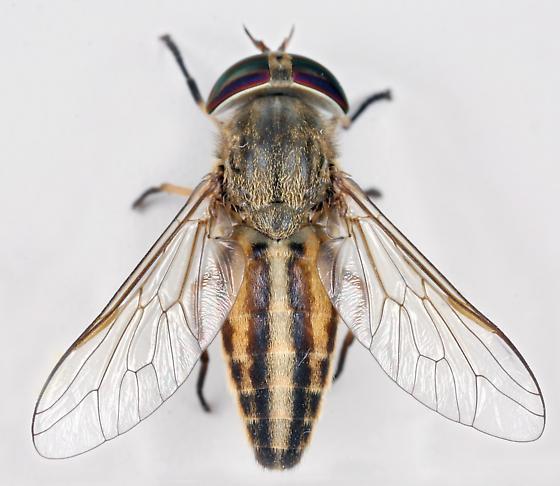 BG1694 E0479 - Tabanus hinellus - female