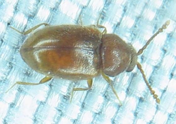 Tiny reddish beetle - Atomaria lewisi