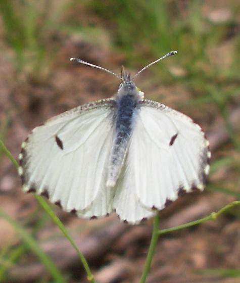 Anthocharis midea - female