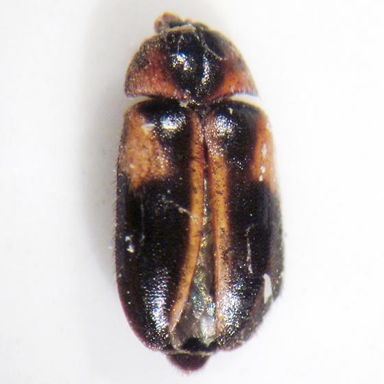Novelsis hornii (Jayne) - Novelsis hornii