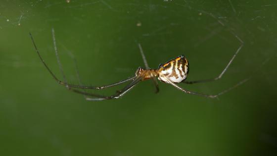 Sheetweb Weaver - Neriene radiata - female