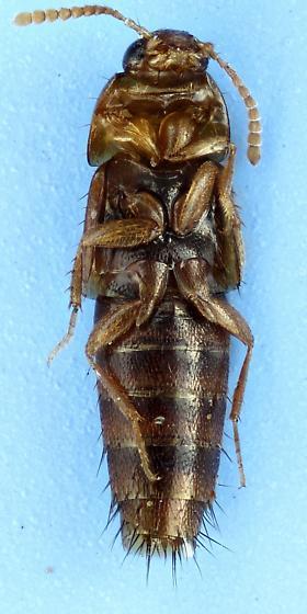 rove - Tachyporus nitidulus