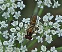 Small Fly - Allograpta obliqua