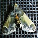 Meal moth - Pyralis farinalis