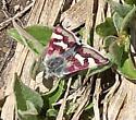 diurnal moth from Yosemite