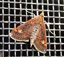 Small moth - Pyrausta orphisalis