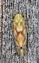 Erythroneura sp. - Erythroneura beameri