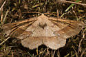 6734 Ochre Euchlaena - Euchlaena marginaria