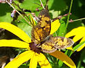 Butterfly? - Phyciodes tharos