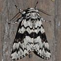 Owlet Moth - Panthea acronyctoides