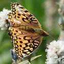 Grand Park Butterfly - Speyeria