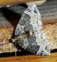 Porch Moth - Ecliptopera silaceata