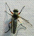 March Fly - Bibio femoratus - male