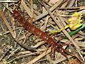 Stone Centipede