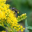 Bee Like Insect - Vespula consobrina - male