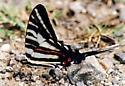 Zebra Swallowtail taking fluid from damp sand - Eurytides marcellus