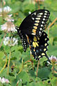 Butterfly - Papilio polyxenes - male