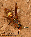 Wasp - Dolichodynerus tanynotus - female
