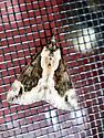 Triangular Moth - Hypena baltimoralis
