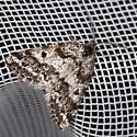 Moth - Eufidonia discospilata