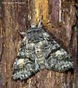 Unknown Moth - Brachylomia rectifascia