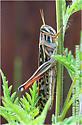 Bird Grasshopper - Schistocerca americana - female