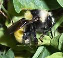 Large bumble bee - Bombus appositus - female