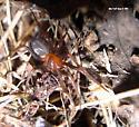 black n red spider - Kibramoa