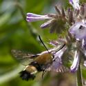 Clear-winged moth? - Hemaris thetis