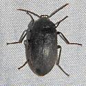 Velvety Bark Beetle - Penthe pimelia